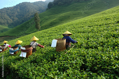 Foto auf Leinwand Indonesien tea plantation