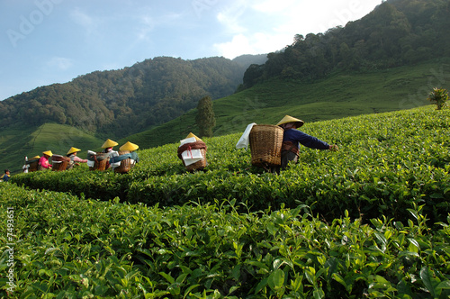 Fotomural tea plantation