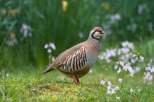 Photo Red-legged partridge