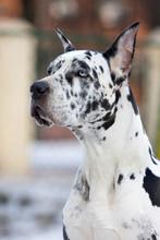 Dane Great Dog