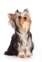 Yorkshire Terrier Isolated On ...