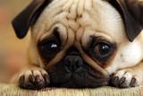 Fototapeta Zwierzęta - Sad Pug Puppy