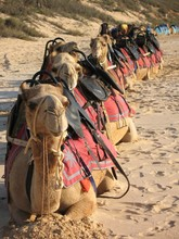 Camel Train At Cable Beach, Broome, Western Australia