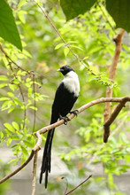 White Crested Myna