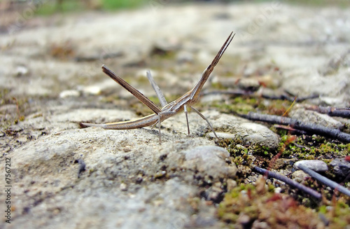 Photo  Walking Stick animal