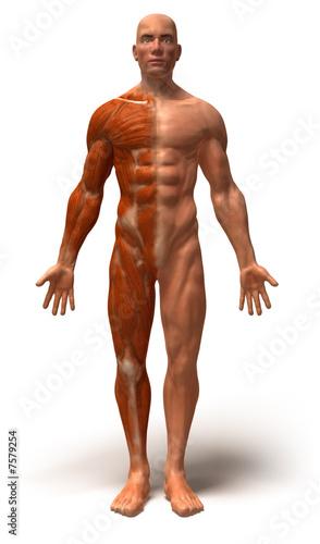 Anatomie et systeme musculaire – kaufen Sie diese Illustration und ...