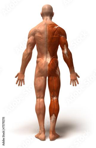 Fotografie, Obraz  Anatomie et systeme musculaire