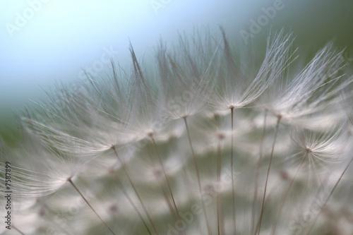 Canvas Prints Dandelions and water Pusteblume-zart