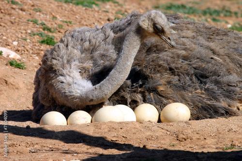 Mother Ostrich