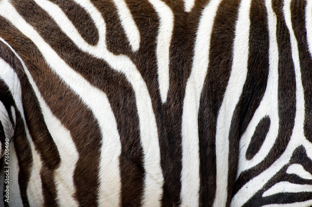 Fototapety, obrazy: zebras skin