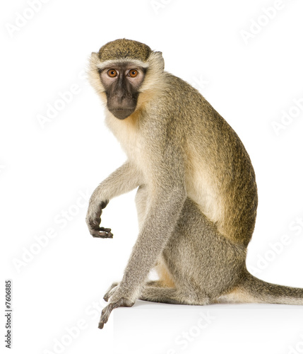 Vervet Monkey - Chlorocebus pygerythrus Tapéta, Fotótapéta