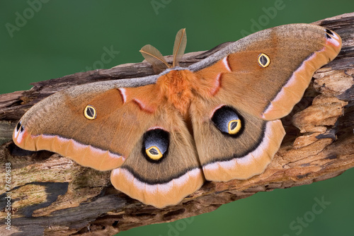 Photo  Polyphemus Moth