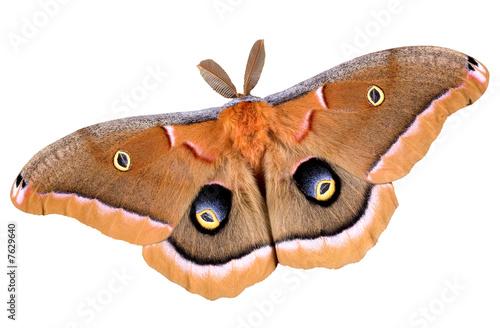 Polyphemus moth on white Canvas Print
