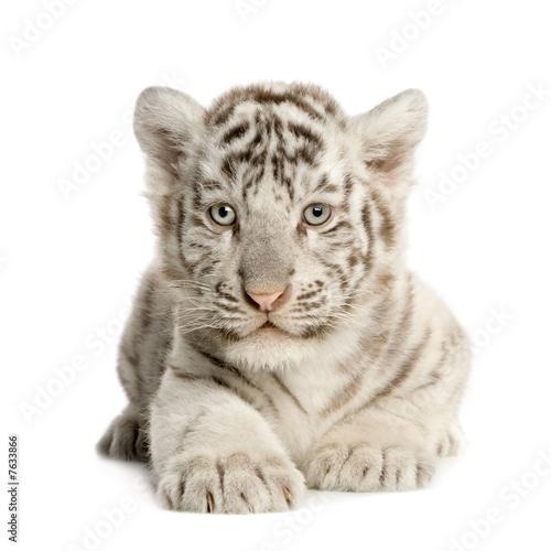 Fotobehang Tijger White Tiger cub (2 months)