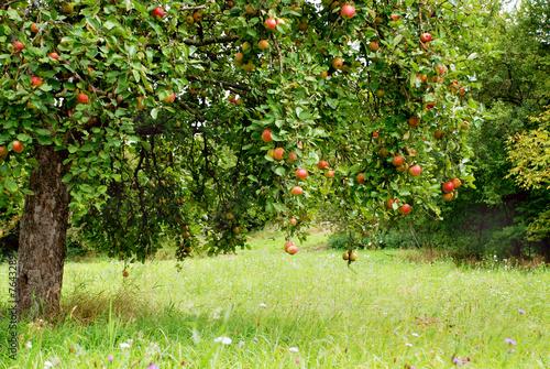 Apfelbaum auf Streuobstwiese Canvas Print