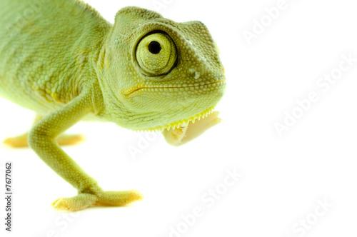 Photo sur Aluminium Cameleon Chameleon. Isolation on white