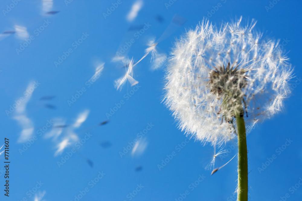 Fototapety, obrazy: Dandelion Flying Seeds