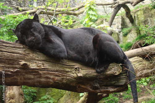 Fotobehang Panter Black Jaguar