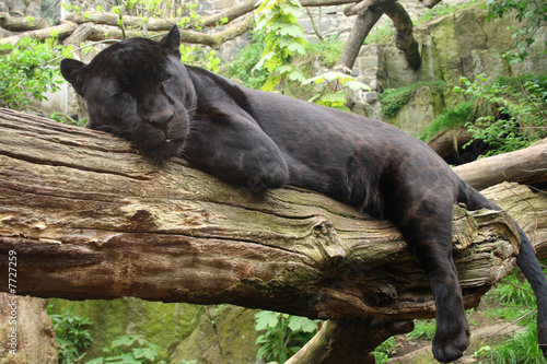 Black Jaguar Canvas Print