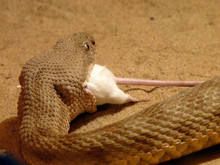 Snake Eating Mouse Close-up