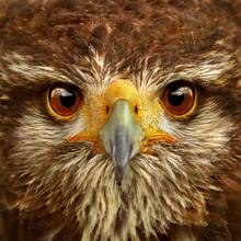 Hawk Close-up