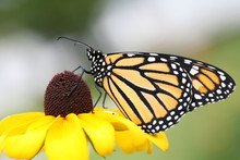Monarch Butterfly Sipping Nect...