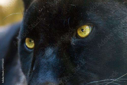 Poster Panter black panther