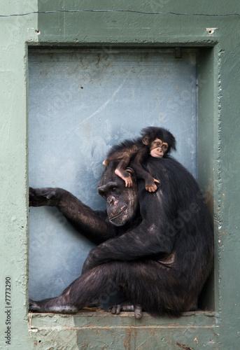 baby chimpanzee - Buy this stock photo and explore similar