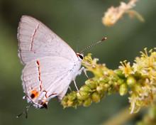 A Gray Hairstreak Butterfly Fe...