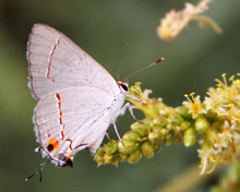 A Gray Hairstreak Butterfly Feeding On Mesquite