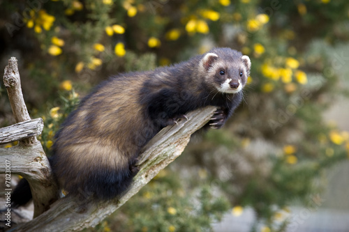 Fotografija  Polecat climbing on a branch