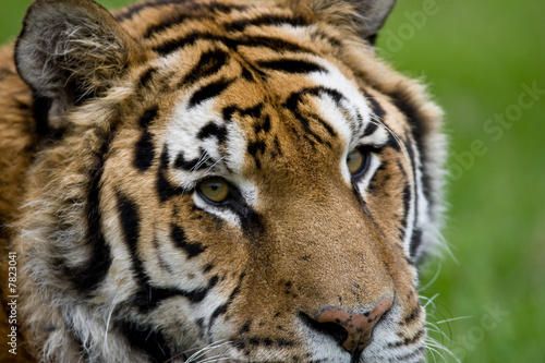 Photo  close up of a tiger head