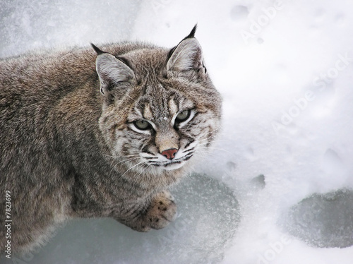 Foto auf Leinwand Luchs Close-up Bobcat lynx on snow looking at camera