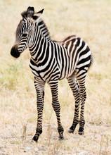 An Adorable Baby Zebra Stading.