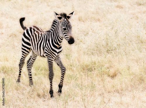 In de dag Zebra An adorable baby Zebra walking.