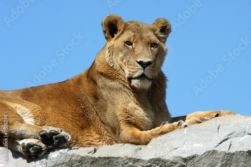 Fototapety, obrazy: Lion In The Sky