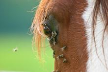 Pferd - Fliegen Schwirren Ums Auge
