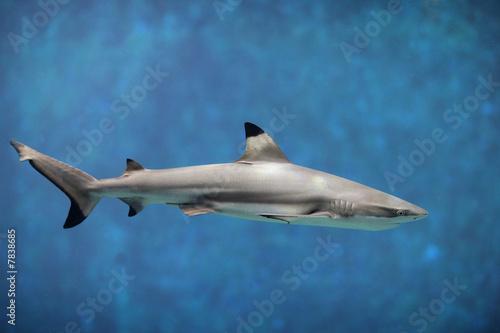 requin Canvas Print