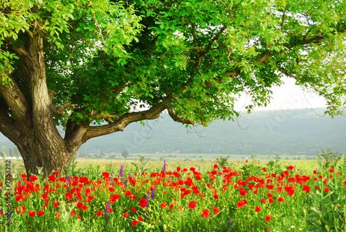 Foto-Duschvorhang - Poppy's field and big green tree