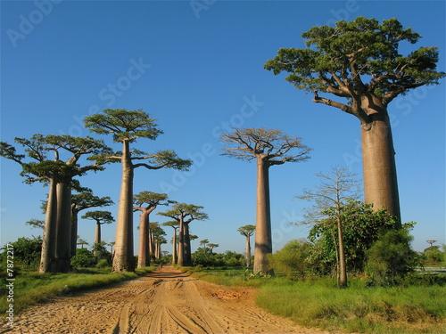Staande foto Baobab