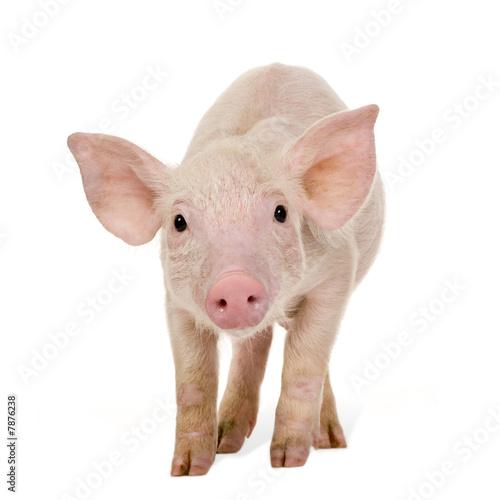 Fotografie, Obraz  Young pig (+/-1 month)