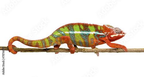 Staande foto Kameleon Chameleon Furcifer Pardalis - Ambilobe (18 months)