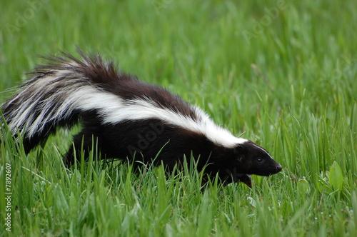 Photo  skunk