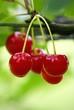 belles cerises rouge vif