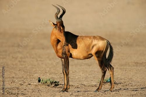 Poster Antilope Red hartebeest, Kalahari desert, South Africa