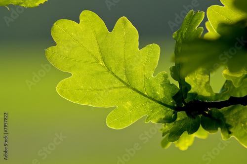 Fotografía  Oak Leaves