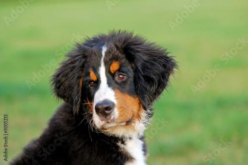 Poster de jardin Vache Portrait of puppy Bernese mountain dog