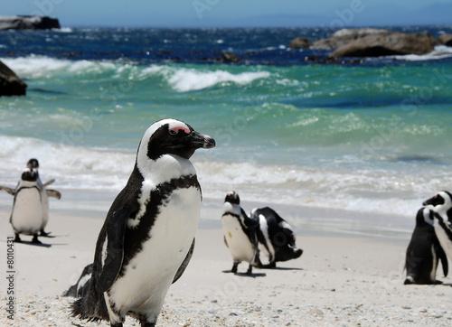 Cuadros en Lienzo penguins near Simon's Town,South Africa
