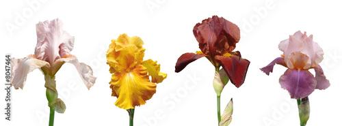 Deurstickers Iris iris flowers