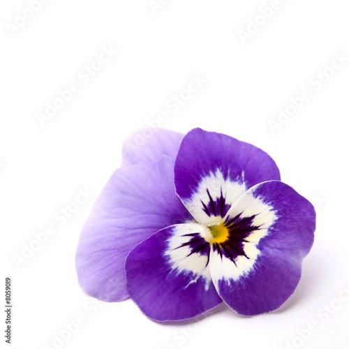 Papiers peints Pansies Blue Pansy flower ( Viola × wittrockiana )